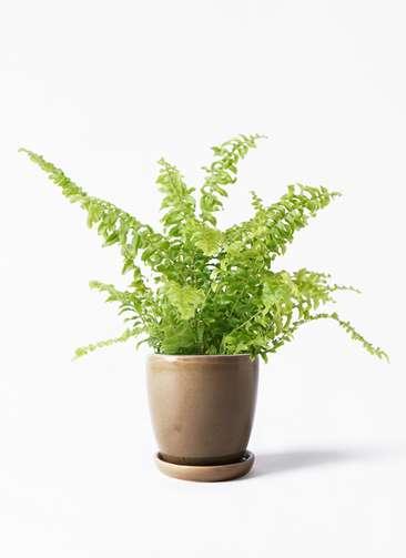 観葉植物 ネフロピレス 3.5号 アステア トール ブラウン 付き