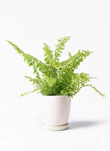 観葉植物 ネフロピレス 3.5号 アステア トール ホワイト 付き