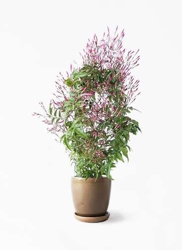 観葉植物 ハゴロモジャスミン 4号 アステア トール ブラウン 付き