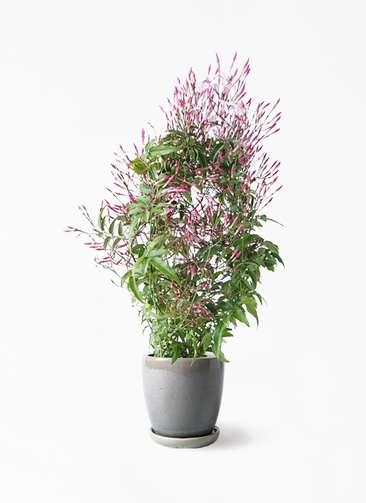 観葉植物 ハゴロモジャスミン 4号 アステア トール ライトグレー 付き