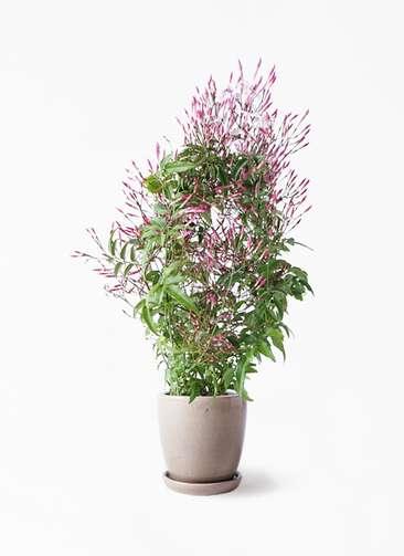 観葉植物 ハゴロモジャスミン 4号 アステア トール ベージュ 付き