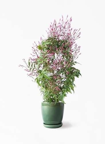 観葉植物 ハゴロモジャスミン 4号 アステア トール グリーン 付き