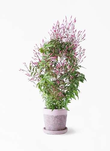 観葉植物 ハゴロモジャスミン 4号 ハレー ピンク 付き