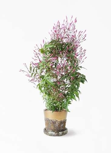 観葉植物 ハゴロモジャスミン 4号 ハレー ブロンズ 付き