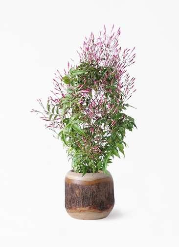 観葉植物 ハゴロモジャスミン 4号 マンゴーウッド 付き