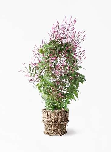 観葉植物 ハゴロモジャスミン 4号 バスケット 付き