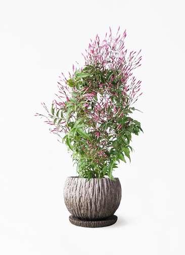観葉植物 ハゴロモジャスミン 4号 ストーン ウェア セラミック 付き