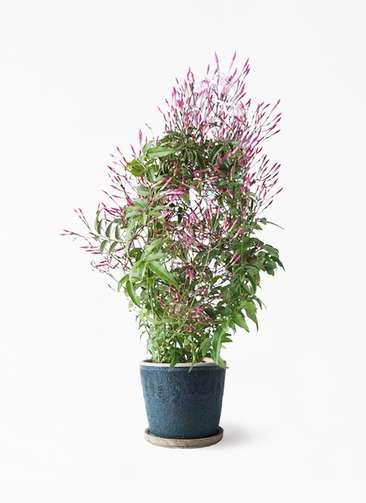 観葉植物 ハゴロモジャスミン 4号 フェイバーポット ブルー 付き
