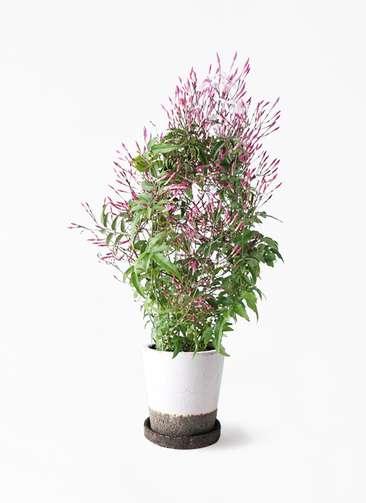 観葉植物 ハゴロモジャスミン 4号 ヴィフポット ホワイト 付き
