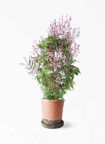 観葉植物 ハゴロモジャスミン 4号 ヴィフポット サーモンピンク 付き