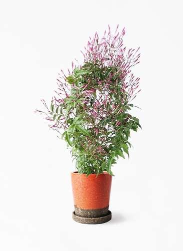 観葉植物 ハゴロモジャスミン 4号 ヴィフポット オレンジ 付き