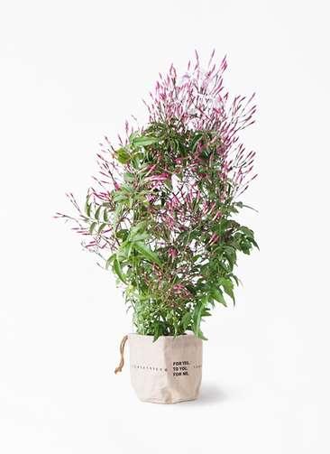 観葉植物 ハゴロモジャスミン 4号 ラップサック 付き
