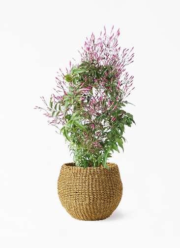観葉植物 ハゴロモジャスミン 4号 アバカバスケット オリーブ 付き