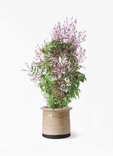 観葉植物 ハゴロモジャスミン 4号 アンティークテラコッタ グレイ 付き