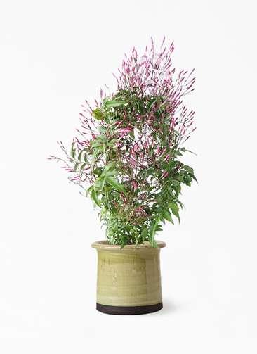 観葉植物 ハゴロモジャスミン 4号 アンティークテラコッタ グリーン 付き