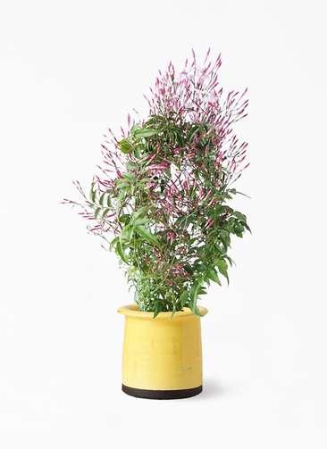 観葉植物 ハゴロモジャスミン 4号 アンティークテラコッタ イエロー 付き
