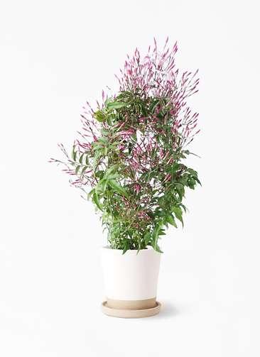 観葉植物 ハゴロモジャスミン 4号 マット グレーズ テラコッタ ホワイト 付き