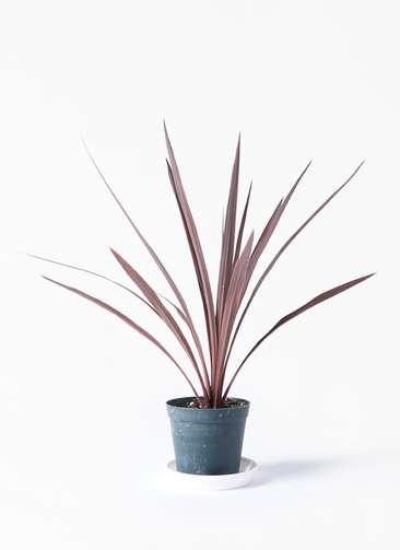 観葉植物 コルディリネ (コルジリネ) レッドスター 4号 プラスチック鉢