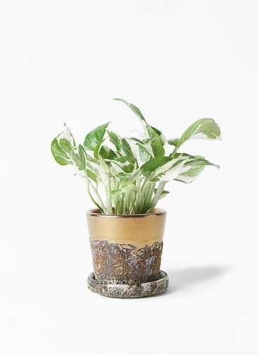 観葉植物 ポトス 3号 ハレー ブロンズ 付き