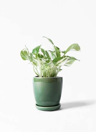 観葉植物 ポトス 3号 アステア トール グリーン 付き