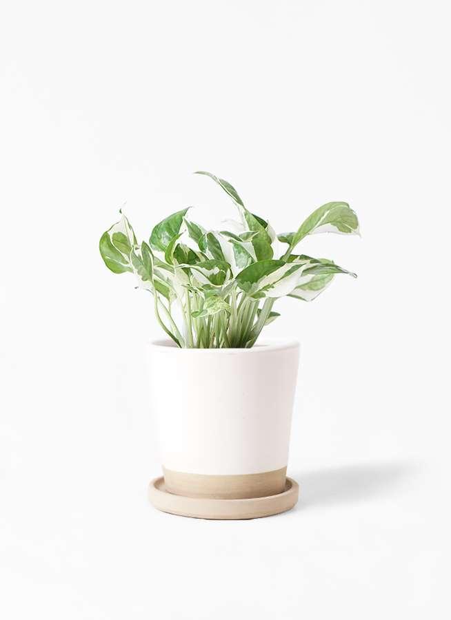 観葉植物 ポトス 3号 マット グレーズ テラコッタ ホワイト 付き