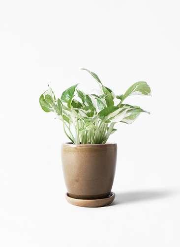 観葉植物 ポトス 3号 アステア トール ブラウン 付き