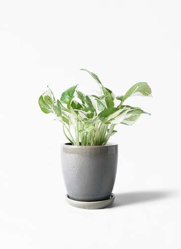 観葉植物 ポトス 3号 アステア トール ライトグレー 付き