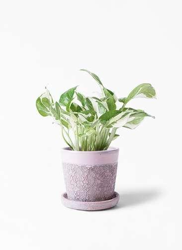 観葉植物 ポトス 3号 ハレー ピンク 付き