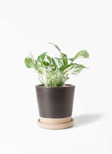 観葉植物 ポトス 3号 マット グレーズ テラコッタ ブラック 付き