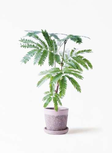 観葉植物 エバーフレッシュ 4号 ボサ造り ハレー ピンク 付き