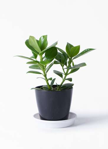 観葉植物 クルシア ロゼア プリンセス 3.5号 プラスチック鉢