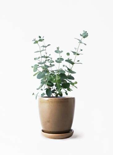 観葉植物 ユーカリ 3号 グニー アステア トール ブラウン 付き