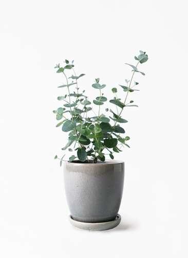 観葉植物 ユーカリ 3号 グニー アステア トール ライトグレー 付き