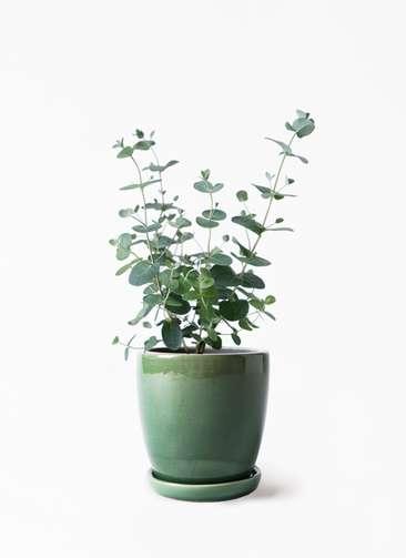 観葉植物 ユーカリ 3号 グニー アステア トール グリーン 付き