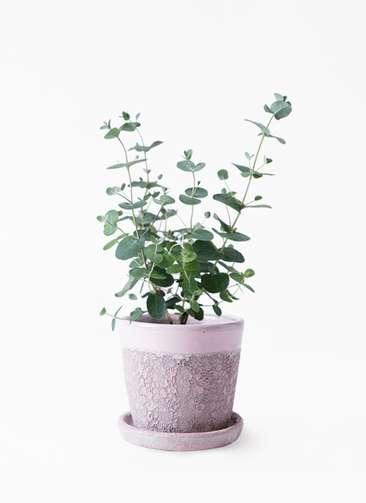 観葉植物 ユーカリ 3号 グニー ハレー ピンク 付き