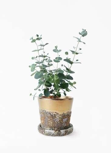 観葉植物 ユーカリ 3号 グニー ハレー ブロンズ 付き