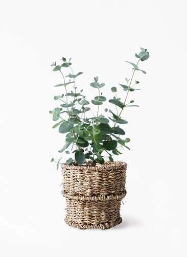 観葉植物 ユーカリ 3号 グニー バスケット 付き