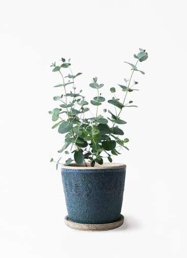 観葉植物 ユーカリ 3号 グニー フェイバーポット ブルー 付き