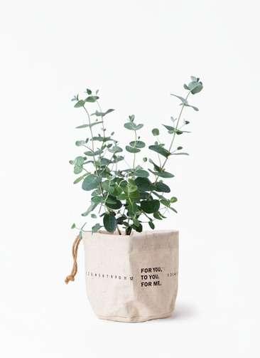 観葉植物 ユーカリ 3号 グニー ラップサック 付き