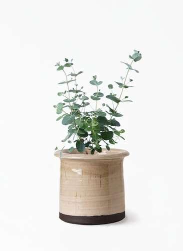 観葉植物 ユーカリ 3号 グニー アンティークテラコッタ グレイ 付き