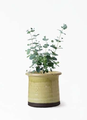 観葉植物 ユーカリ 3号 グニー アンティークテラコッタ グリーン 付き