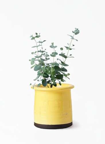 観葉植物 ユーカリ 3号 グニー アンティークテラコッタ イエロー 付き
