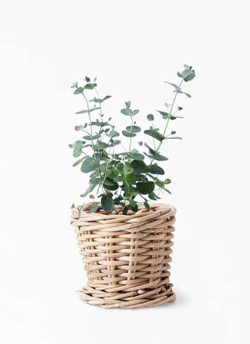 観葉植物 ユーカリ 3号 グニー グレイラタン 付き
