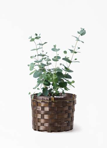 観葉植物 ユーカリ 3号 グニー 竹バスケット付き