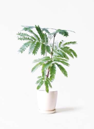 観葉植物 エバーフレッシュ 4号 ボサ造り アステア トール ホワイト 付き