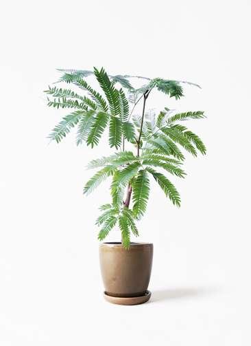観葉植物 エバーフレッシュ 4号 ボサ造り アステア トール ブラウン 付き