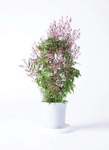 観葉植物 ハゴロモジャスミン 4号 プラスチック鉢