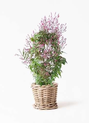 観葉植物 ハゴロモジャスミン 4号 グレイラタン 付き