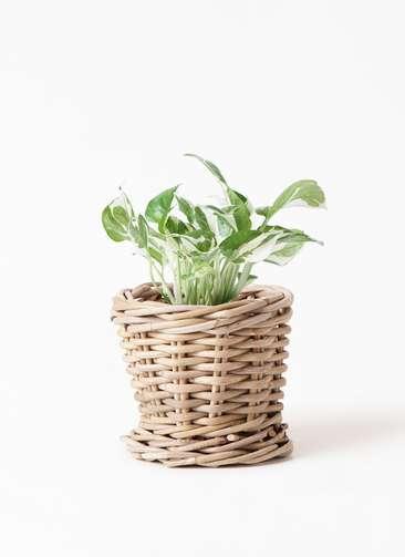 観葉植物 ポトス 3号 グレイラタン 付き