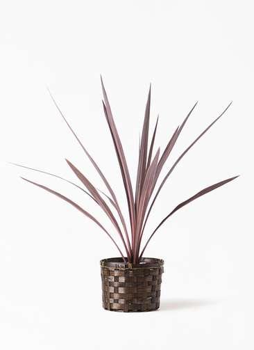観葉植物 コルディリネ (コルジリネ) レッドスター 4号 竹バスケット付き